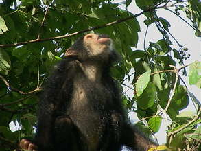A chimp eating from a Mpapa tree