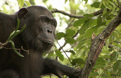 Help Protect Wild Chimpanzees