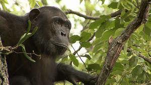 Help Protect Wild Chimpanzees