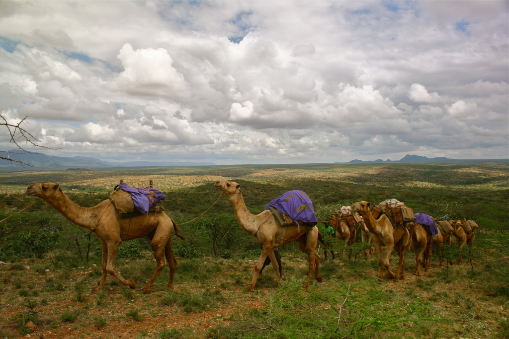 The Camels Set Out