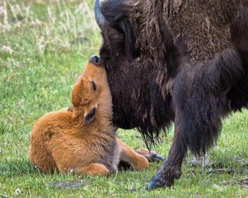 Bison calf in Yellowstone (credit: Robin Poole)