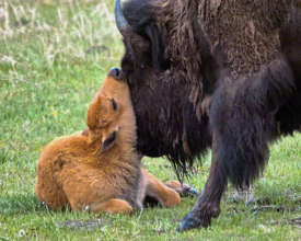 Bison calf in Yellowstone (credit: Robin Poole)