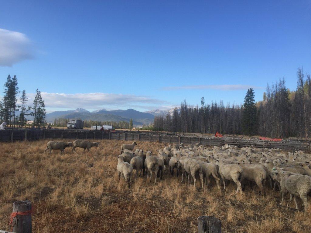 Domestic sheep threaten Chinook and bighorn sheep