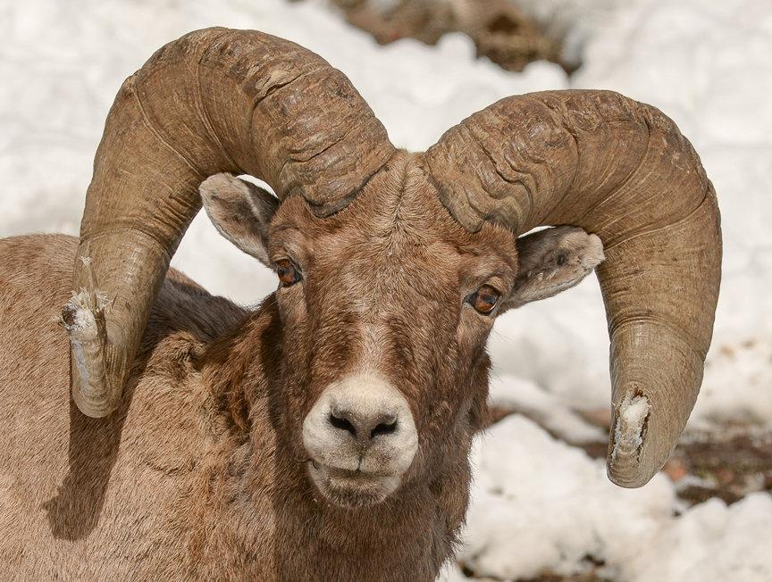 """A """"full curl"""" bighorn ram"""