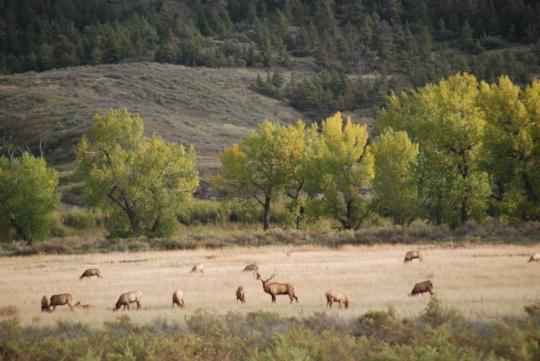 Elk are abundant on the CMR Refuge