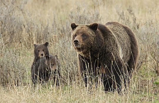 NWF is solving conflicts for Yellowstone Grizzlies
