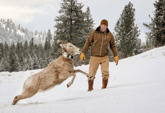 NWF Program Manager with a collared bighorn