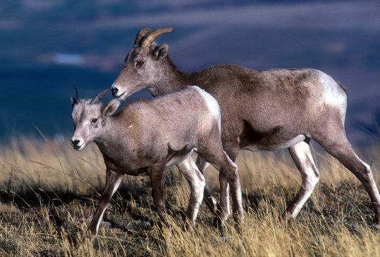 A bighorn lamb and ewe