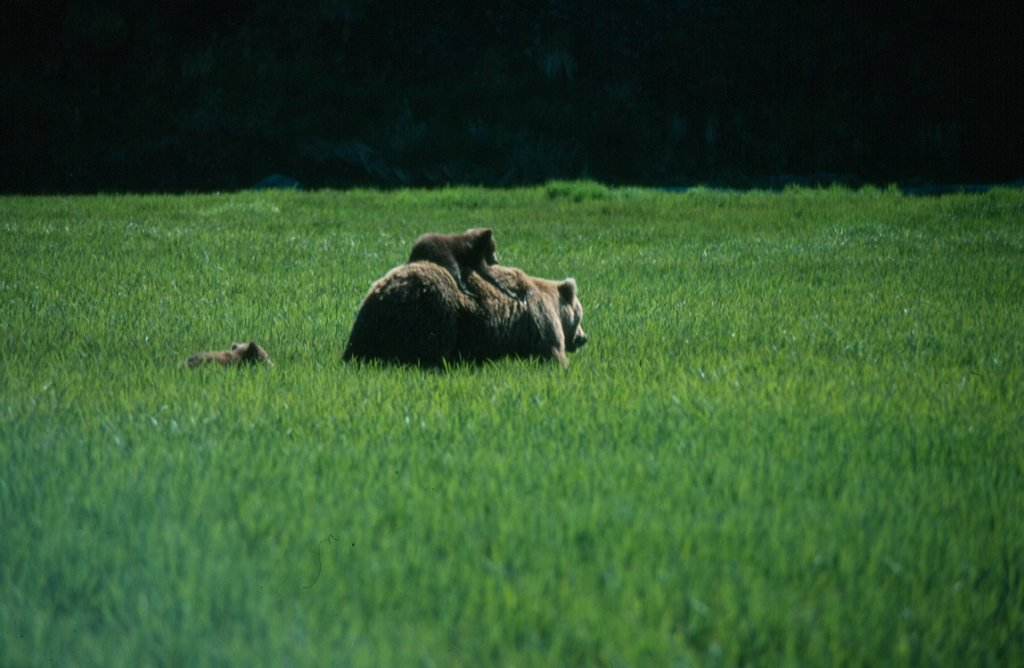 Grizzly bear recovery requires careful teamwork
