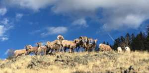 South San Juan CO Bighorns