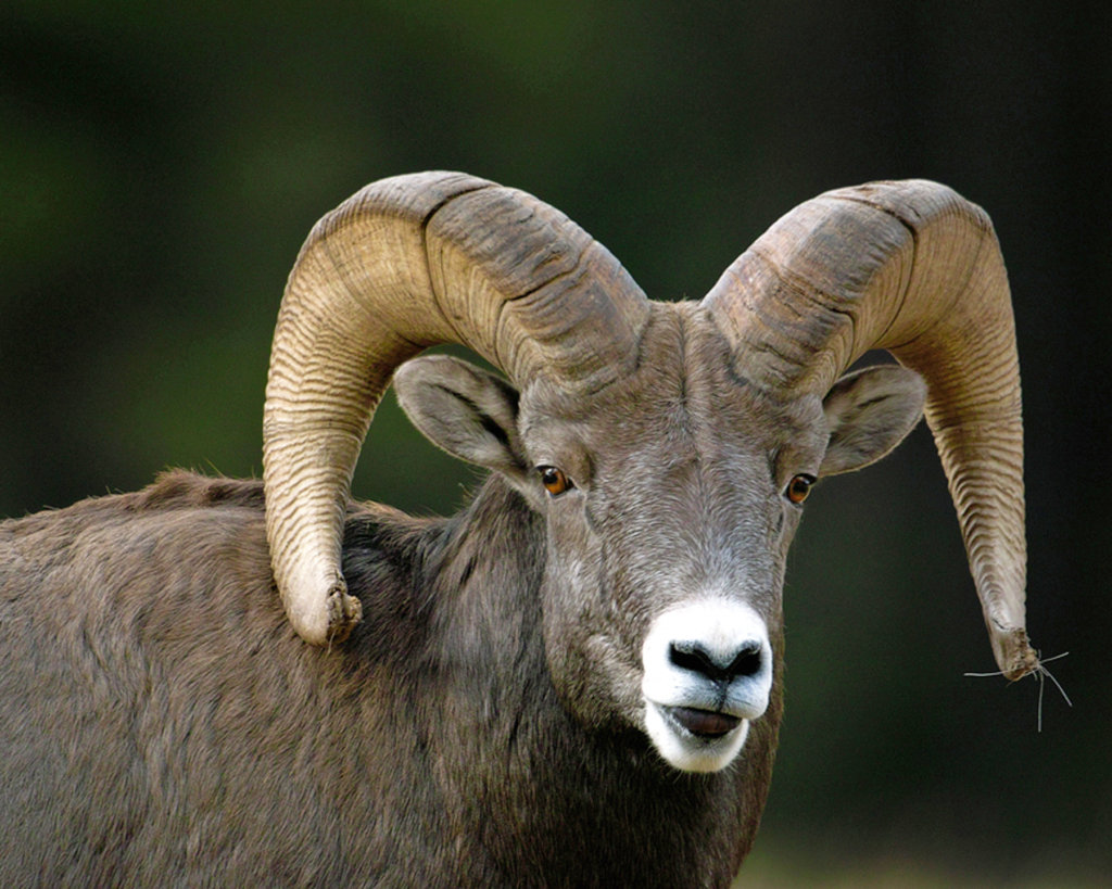 Bighorn sheep and domestic sheep don