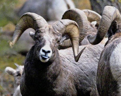 Bighorn sheep in Idaho's Lemhi Mountains