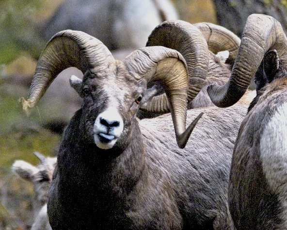 Bighorn sheep in Idaho