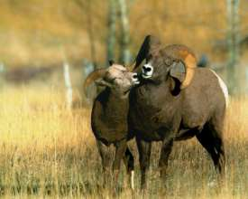 A bighorn ram courting a ewe in southwest Montana