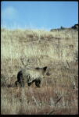 Grizzlies frequent the upper Green River, WY