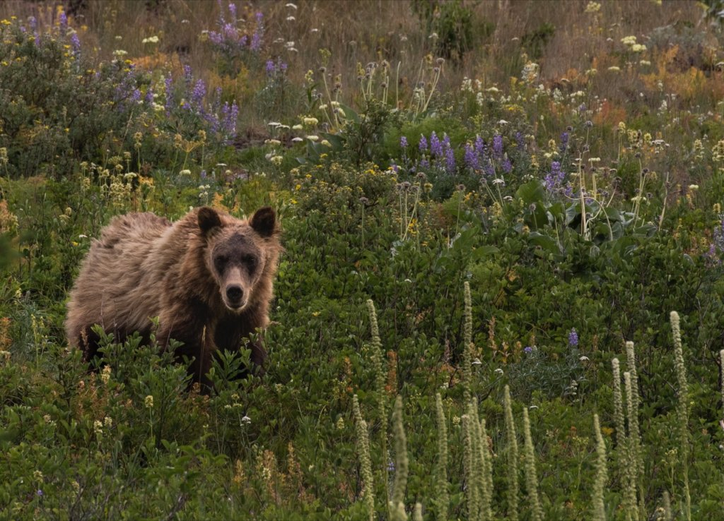 The High Divide is a critical corridor for bears