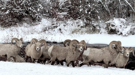 Bighorn sheep are well adapted to harsh conditions