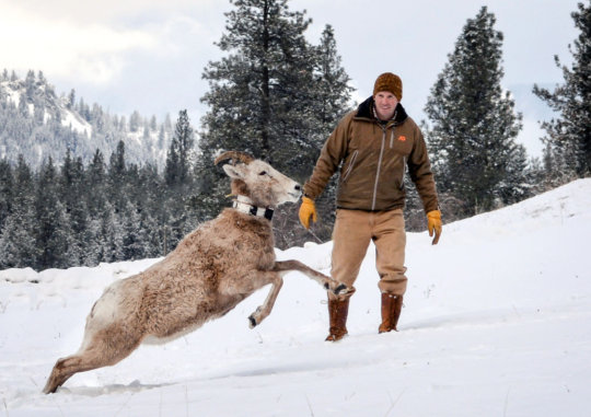NWF's Kit Fischer on a recent bighorn sheep survey