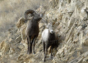 Bighorn sheep are between a rock and a hard place