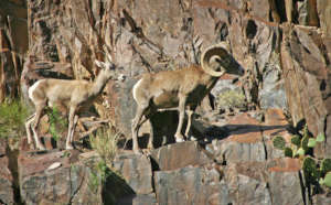 NWF is continuing work to protect western bighorns