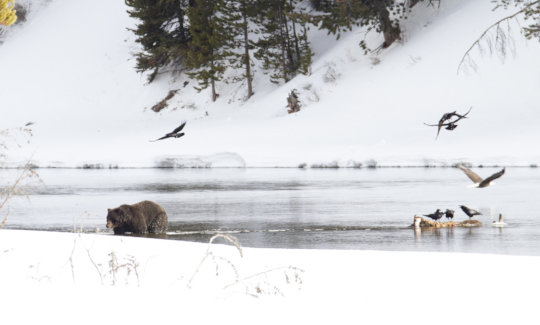A Griz emerging in Yellowstone (credit Jim Peaco)