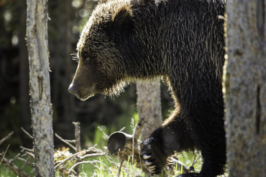 This year NWF has much work to do in Yellowstone