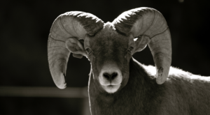 Bighorn and domestic sheep do not mix.