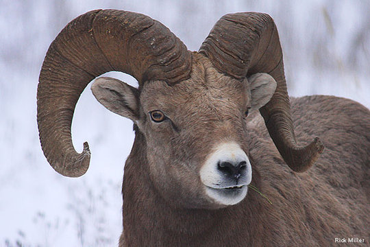 Bighorn Sheep, Photo by Rick Miller