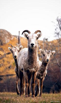 Bighorn Sheep, Photo by Samuel Quaintance