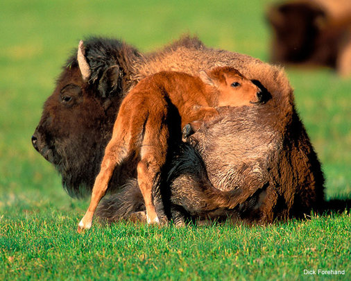 Bison and Calf, Photo by Dick Forehand