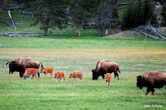 Bison Herd, Photo by Julie Schultz