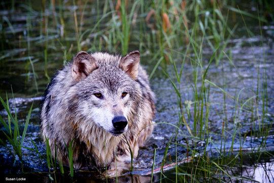 Gray Wolf, Photo by Susan Locke