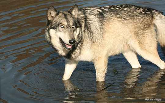 Gray Wolf, Photo by Patricia Yeager
