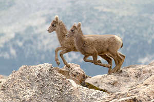 Bighorn Lambs, Photo by Liz Noffsinger