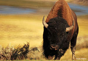 Bison, Photo by Tracey Butcher