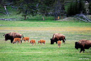 Bison Herd, Photo by Julie Schultz