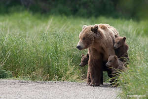 Grizzly Bear and Cubs, Photo by Richard Rigterink