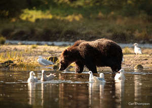 Grizzly Bear, Photo By Carl Thompson
