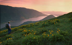 Balsamroot on Dog Mtn., Columbia Gorge, Washington