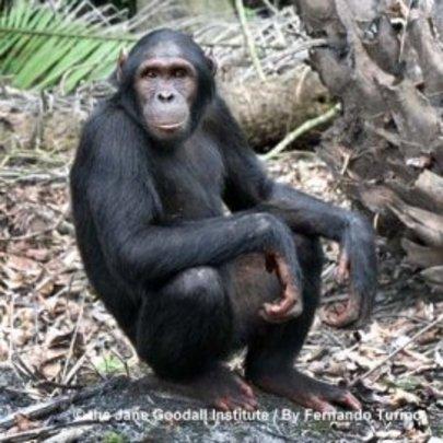 Kudia the Tchimpounga chimpanzee