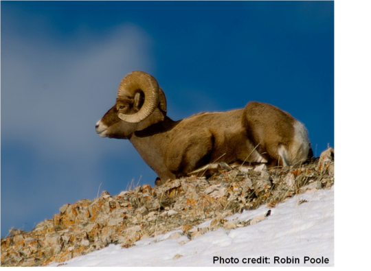 Sheep in Montana - National Wildlife Federation