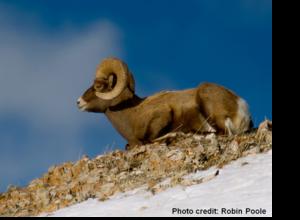Sheep in Montana - National Wildlife Federation