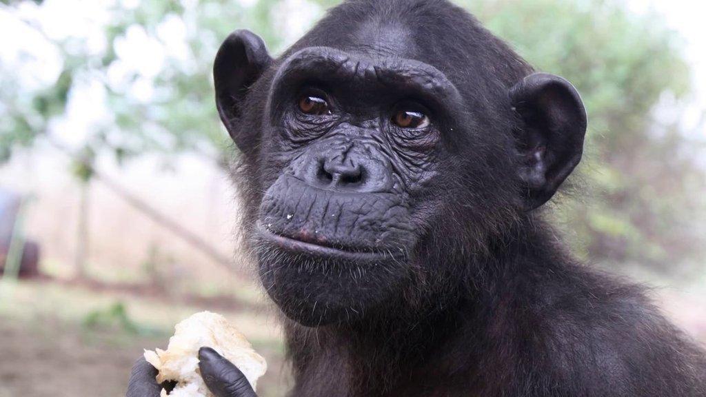 Wounda the chimpanzee - Jane Goodall Institute