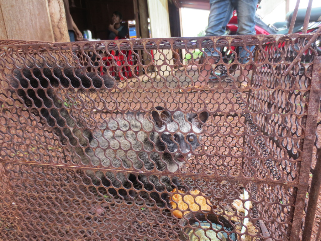 Rescued Palm Civet