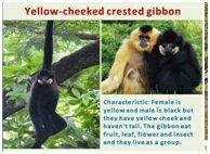 Gibbon educational chart