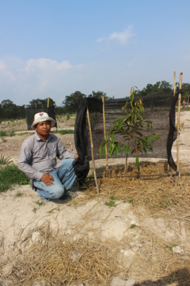 Planting cash crop trees for the community