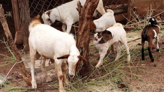 PROJECT GOATS