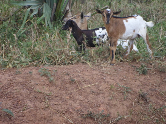 A BREADER GOAT WITH ITS TWIN SHE AND HE GOAT