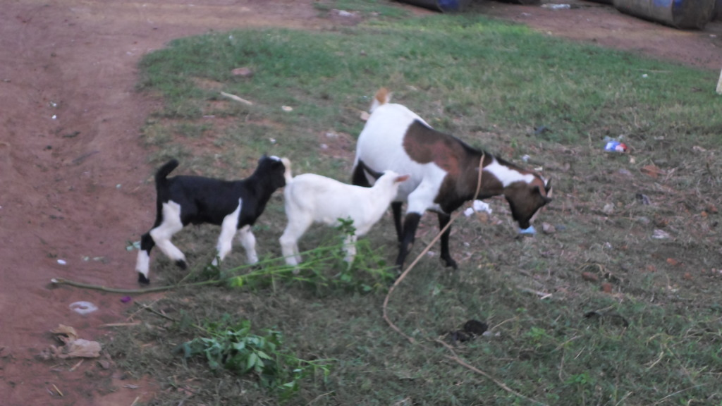 A BREADER GOAT WITH ITS TWIN SHE GOATS
