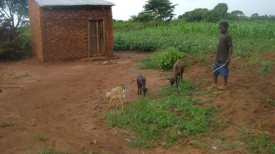 Kirya John returns home with his Goats